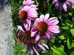 Cone flower, Echinacea