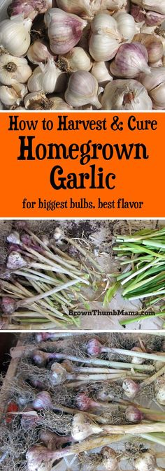 How to Harvest & Cure Garlic Garlic is easy to grow! Here are important tips to ensure you harvest and cure your garlic correctly, so it won't spoil or sprout before you can use it. Growing Veggies, Growing Herbs, Growing Gardens, Planting Vegetables, Growing Microgreens, Small Gardens, Edible Garden, Easy Garden, Garden Ideas
