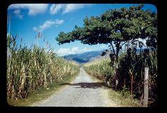 Almond or carob or locust tree, sugarcane near Ponce by t13hman, via Flickr