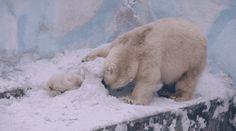 Community Post: The 35 Cutest Polar Bear Gifs On The Internet - Playing hide & seek with mom.