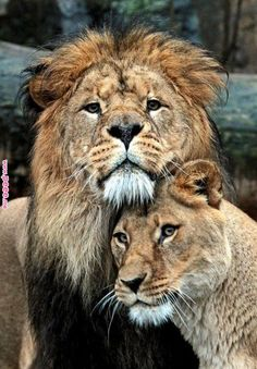 Lion Love - Lion Couple standing, cuddling - Close-up Portrait Animals And Pets, Baby Animals, Cute Animals, Wild Animals, Funny Animals, Beautiful Cats, Animals Beautiful, Lion Couple, Lion Love