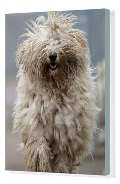 inch) Print (other products available) - A Komondor, a traditional Hungarian guard dog, shakes its long fur in Bodony, Hungary, December REUTERS/Laszlo Balogh TPX IMAGES OF THE DAY - Image supplied by Reuters Images - Print made in Australia Tiny Dog Breeds, Dog Shaking, Komondor, Image Of The Day, Guard Dog, Depth Of Field, Photographic Prints, Small Dogs, Gifts In A Mug