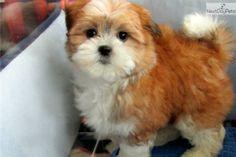Schichons pup