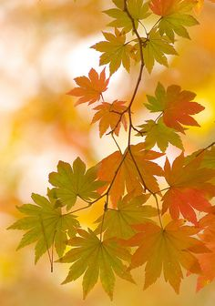 Japanese Maple leaves changing color in Autumn Autumn Day, Autumn Trees, Autumn Leaves, Maple Leaves, Seasons Of The Year, Fall Pictures, Fall Season, Belle Photo, Beautiful World