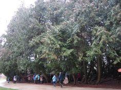 Thuya de Vitré - région Bretagne - classé arbre remarquable de France