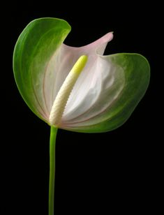 Anthurium butterfly.