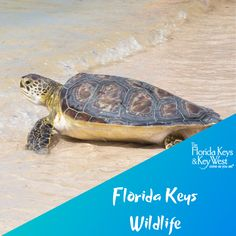 People from around the world are drawn to the Florida Keys, seeking one-of-kind opportunities to encounter the island chain's indigenous creatures. Whether exploring the many national w . West Florida, Florida Keys, Animal Action, Bottlenose Dolphin, Dolphins, Conservation, Exploring, Turtle, Wildlife