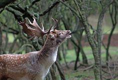Burlen tijdens de bronst; damhert/fallow deer