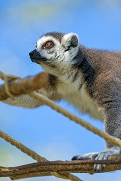 Lemur on the branch by Tambako the Jaguar, via Flickr