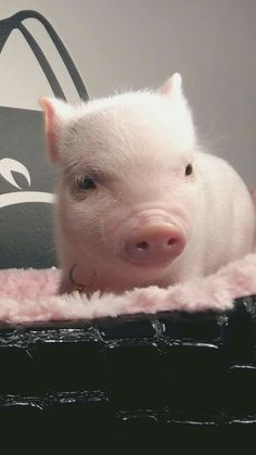 Beautiful Piggy-baby 😍🤗 don't eat meat! Cute Baby Pigs, Cute Piglets, Baby Animals Super Cute, Cute Little Animals, Cute Funny Animals, Cute Dogs, Baby Animals Pictures, Cute Animal Pictures, Teacup Pigs