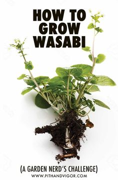 Learn how to grow wasabi in containers. Real fresh wasabi is a rare culinary treat that most people have never tried unless they grow it directly. Hydroponic Farming, Hydroponic Growing, Hydroponics, Permaculture, Vertical Vegetable Gardens, Home Vegetable Garden, Growing Herbs, Growing Vegetables, Gardening Supplies