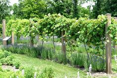 Hyssop makes a great companion plant for grapes. Hyssop is also medicinal.