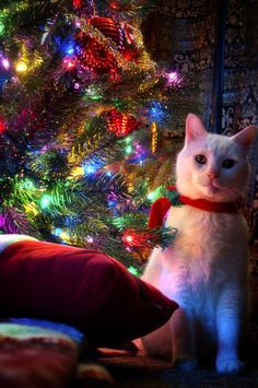 Adorable Christmas Cat under the tree..