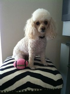 Bella my toy poodle says: Hi