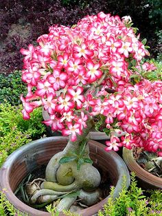 Flowering Adenium