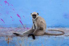 Langur, Pushkar    Gray langur sitting by the ghats of Pushkar, Rajasthan, India
