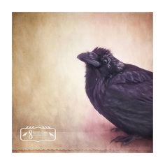 I hear you, Raven Fine Art Print