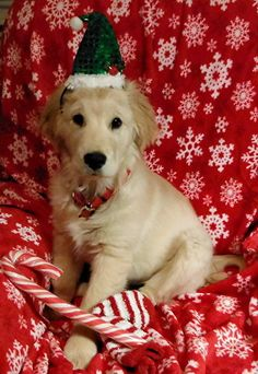 Golden Retriever pup at Christmas