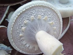 Detail of partial veil of The Horse Mushroom - Agaricus Arvensis