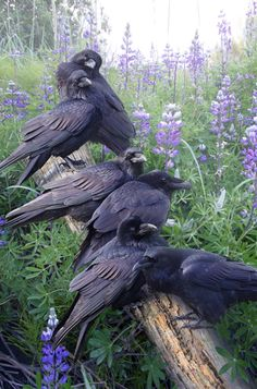 "A group of Ravens can have three different names depending on the activity of the group; a Constable, applied to those in London said to be watching over the Tower of London, an Unkindness, or a Conspiracy. The last two are because of how smart they are and therefore hard to manipulate. ~ M.S.M. Gish ~ Miks' Pics ""Fowl Feathered Friends V"" board @ http://www.pinterest.com/msmgish/fowl-feathered-friends-v/"