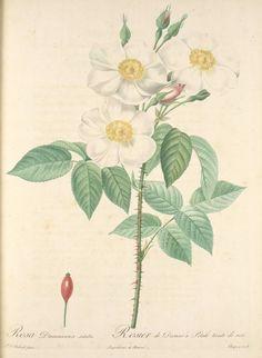 Kibuvits. Redouté, Rosa Damascena Subalba; Rosier de Damas 'Petale teinte de rose'  [Rosa x dupontii Déségl.] (1817-1824). http://digitalgallery.nypl.org/nypldigital/dgkeysearchdetail.cfm?trg=1=463320=1208707_id=448333=======4=====171=20=20==23=small#