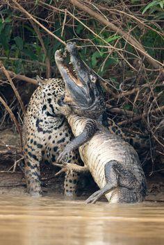 Jaguar vs Caiman: Big Cat Ambushes Giant Reptile in Brazilian Pantanal Photos and Images | Getty Images