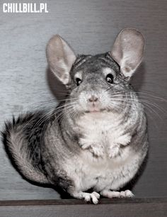 These Chinchillas Are Having The Time Of Their Lives Chinchillas - 29 adorable animals that will put a smile on your face