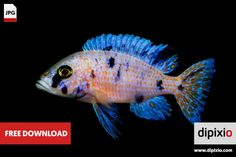 Free photo of cichlid fish (Aulonocara) for download on www.dipixio.com #dipixio #freephoto #freebie #free #photo #freedownload #stockphotos #photography #graphics #photos #blog #blogger #pic #freeimages #stock
