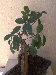 Bonsai Ficus Retusa recuperado depois da poda