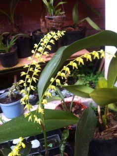 Orquídea JP