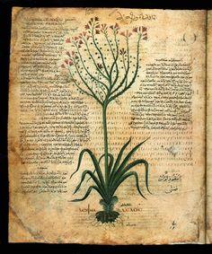 Alle origini della farmacologia: il Dioscoride viennese.
