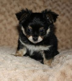 Small Dog Breed Puppies For Sale Qld