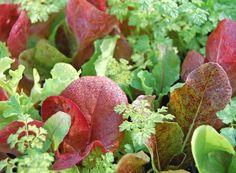 "lettuce ""provencal winter mix"""