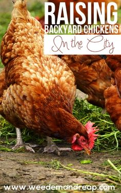 How to raise backyard chickens in the city & get around city laws! #chickens #backyard #farming #health #eggs #family #animals
