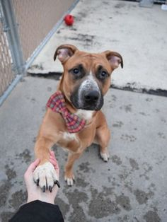 SUPER URGENT 04/16/17 SIR EDWARD – A1107369 **RTND 04/15/17** NTRD M, BR/WHI, PIT BULL / GERM SHEPHERD, 3 yrs RETURN – AVAILABLE, HOLD FOR ID Reason PETS CONFL Intake condition EXAM REQ Intake Date 04/15/2017, From NY 11221, DueOut Date 04/22/2017