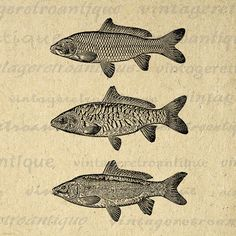 Three Carp Fish Image Digital Download Collage Sheet Graphic Illustration Printable Artwork Vintage Clip Art Jpg Png 18x18 HQ 300dpi No.3059 @ vintageretroantique.etsy.com #DigitalArt #Printable #Art #VintageRetroAntique #Digital #Clipart #Download