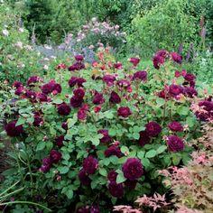 1000 images about roses on pinterest david austin roses. Black Bedroom Furniture Sets. Home Design Ideas