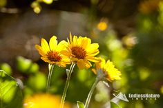 Golden Aster, Flower Photography, Plant Photograph, Nature Photography, Flower Fine Art Prints, Colorful Yellow flower Images, Aster Photos.