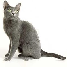 The Korat breed is a popular domestic cat much desired by cat fanciers.  This is Prissy.