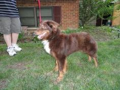 Eeyore is an adoptable Australian Shepherd Dog in Maineville, OH. Meet Eeyore NS