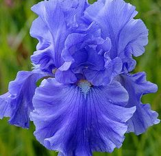 Monet's Blue bearded iris......and Monet couldn't ever replicate this quite so beautifully....