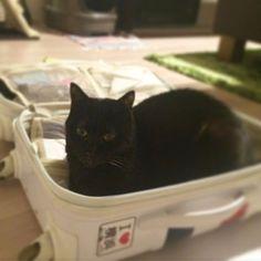 ✈︎ 旅行の準備しようとするとまあこうなるよね。その② #ねこ #猫 #neko #cat #くろねこ #黒猫 #黒猫が好きすぎる #黒猫同盟 #ねこのいる暮らし #ねこのいる生活 #日本の猫 #blackcat #gatto #chat #kat #gato #katze #macska #catstagram #愛猫 #家猫 #ねこ好き #猫好きさんと繋がりたい #みらん様 #保護猫 #遠征用