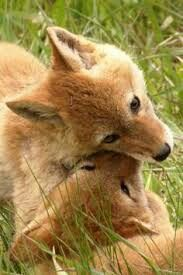 Foxes playing....