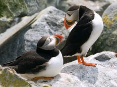 (vía Puffin Picture – Animal Wallpaper - National Geographic Photo of the Day)
