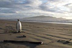 Emperor Penguin on Peka Peka Beach, Kapiti Coast, New Zealand