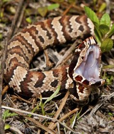 Cottonmouth, aka Water Moccasin snake
