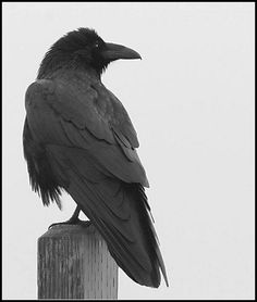 Common Raven by amkhosla, via Flickr