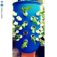 """#Repost shoutout to @mana_clash!  I love that system! Very unique and creative!  #hydroponics #growyourownfood #urbanagriculture #apartmentgarden…"""