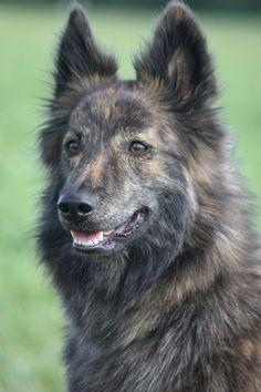 Dutch Shepherd (Long Hair) <3 Dutch Shepherd Dog, Dog Breeds, Rare Breeds, Dog List, Purebred Dogs, Four Legged, Girls Best Friend, Animal Drawings, Puppy Love