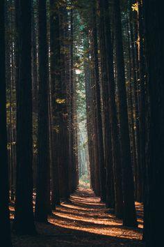 East Warburton Redwood Forest, Australia. (Photo: @hullocolin on Tumblr) #ForestFriday